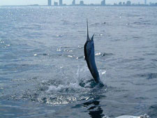 Sailfish jumping on the line