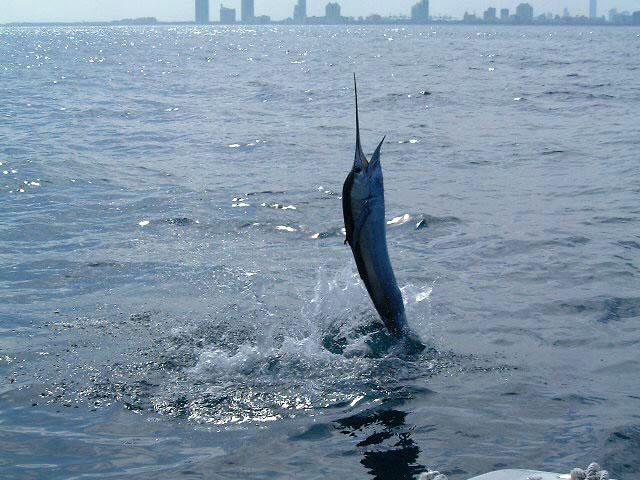 Sailfish fishing charter trips miami south florida for Fishing in miami florida