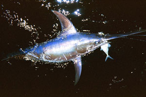 Catching and releasing a swordfish