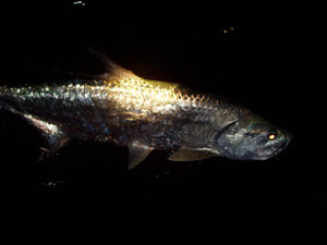 Tarpon at night